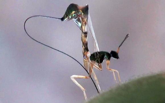 image_1951-Parasitoid-wasp